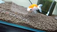 写真の金魚はツリガネムシでしょうか? 去年の8月に購入した金魚で、9月22日に照明を購入して初めて白斑に気が付きました。なのでいつからあったか分かりません。 0.5%塩浴効果なし グリーンFゴールド顆粒⇒少し...