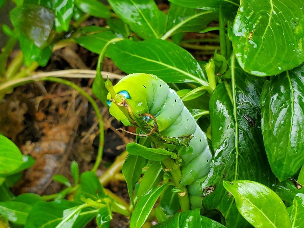 これなんの幼虫でしょうか? 沖縄県です!
