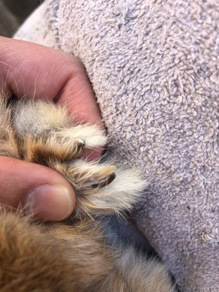 うさぎの爪を切っていたら同じところから2本生えてることに気がつきました。これは病院に行った方がいいですか?なにか病気でしょうか? この通常の爪の上部に生えてるクリーム色の爪は光を当てても血管が出てきませんでした。またもう片方の足の爪には生えていませんでした。知識のある方よろしくお願いします。