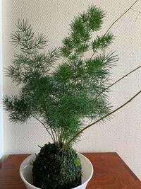 葉が松の葉に似ているこの植物の名前分かりますか?