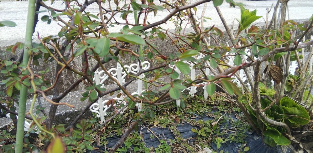 ツルバラですが、全く剪定しておらず、小さい枝が結構生えているんですが、この小さい枝にも花はつくんでしょうか?