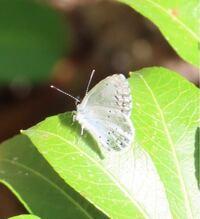 蝶の種類  写真のシジミチョウについて 種類が分かる方、ご教示ください。  本日佐賀県で撮影したものです。