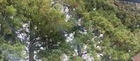 真ん中あたりに写っている緑の樹木で、枝の先端が黄色いやつ、これは杉ですか?ヒノキですか?サワラですか?