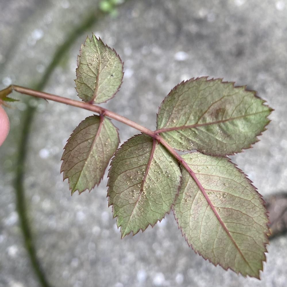 ミニバラ害虫被害について。 ミニバラを育てているのですが、去年末?くらいから葉っぱが錆びたような色になっていて、寒いからかな?と放置していました。 新芽も出てきて、錆びた葉は取っておこうとハサミ...