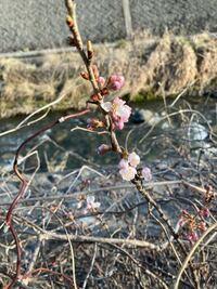 この桜はなんという種類のものですか? 長野県の中部地方の川辺にぽつんとコンクリートの隙間から生えていました。