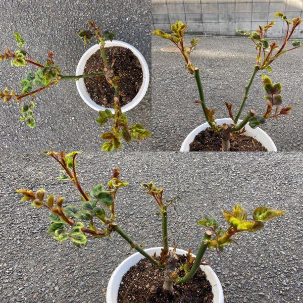 バラの芽吹きが始まりました。 見難い写真で申し訳ありませんが、 芽かきをした方が良いか、 このままで良いかわからないので質問させてください。 このバラは花束で頂いたモノを挿し木して 根付いて3...