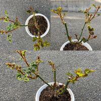 バラの芽吹きが始まりました。 見難い写真で申し訳ありませんが、 芽かきをした方が良いか、 このままで良いかわからないので質問させてください。  このバラは花束で頂いたモノを挿し木して 根付いて3年です。 当時バラの知識は全くなく、 最初の2年間は、花が終わっても 花後剪定もせず、消毒などの手入れ等したことも無く 鉢の植え替えもせず、 適当にハイポネックスをあげた程度です。 鉢もスリット鉢では...