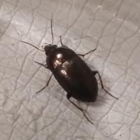 この虫の名前を教えてください。 草むらの中で見つけました。 結構足速くて、羽にうっすら縦線があります。