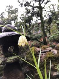 実家の庭に咲いていた花の名前が知りたいです。雑草だと思うのですが、自分なりに調べたのですが分からずモヤモヤしています。 草丈は50cm〜1m近くありそうな感じでした。ホタルブクロ?と思ったのですが葉や花の形が違いそうです。分かる方お願いします!