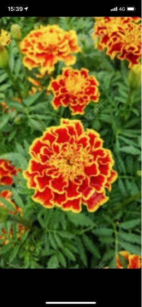 至急お願いします。 この花はなんて言いますか? なんて言う花言葉ですか? 友達がこの画像を載せた途端、連絡がとれなくなりました。ご協力お願いします。