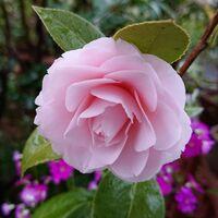 写真のツバキの品種名を、ご教示お願い致します。 花は、小さめでして、桜のような薄いピンク色です。 花数は少なめです。 開花したのは3月中旬です。 よろしくお願いいたします。