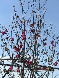 可愛い花木を見つけ、「ピンク 花木」と検索していたらハナカイドウという花木の画像を見つけました。 私が撮ったものでは見えづらいのですが...これはハナカイドウでしょうか?