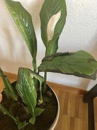スパティフィラムの葉がここ数ヶ月でどんどん枯れてしまい困っています。 新しい葉ですら茶色くなって枯れてしまいます 水は乾燥した時にあげて、部屋の温度は今は20度以上あります。去年の春に分割して植え替え、たまに液体肥料N9P4K6をあげています。 日の当たりが十分ではないと アドバイスをもらい、先月から日の当たる明るい場所に置いてあります。先週には小さな花も咲いてくれたのですが、このままでは...