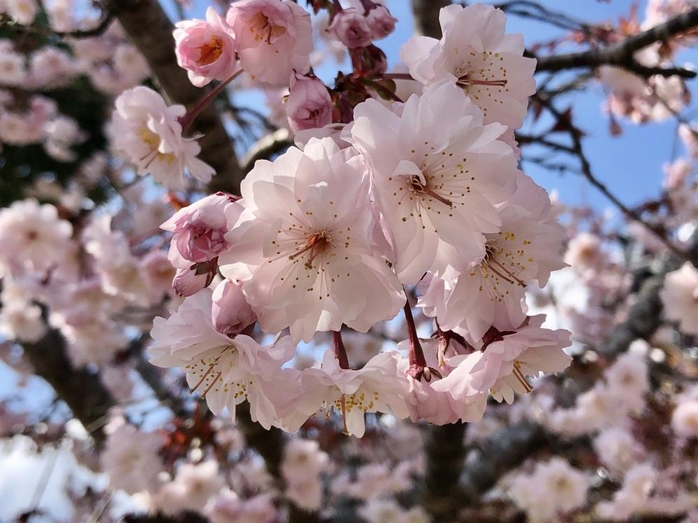 家に古くからある桜の品種がわかりません。 どこかから貰ってきたと伝わっています。 見物している人からは珍しい桜だと言われますが、どなたも詳しくは分からないとのこと。 特徴としては、八重咲きで花弁は30枚程度、葉と一緒に花が咲きます。