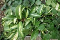 ホヤの上手な育て方について質問です。 ネット上で色々調べて勉強してるのですが、どうしてもホヤが上手く育てられません。色んな観葉植物を沢山育てており、大半はうまく育つのですが、ホヤは何度も買っては枯らしを繰り返してます。  サクラランと言われる一番良く見かけるタイプや、マチルダ、カリストフィラなど葉が分厚いものに関しては問題ないですが、ヘウスケリアナやベラのように葉が薄い物はうまく育てられませ...
