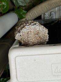 この蜂の巣は、アシナガバチでしょうか。 自宅のベランダの、室外機の裏に出来ていて、びっくりしました。 自分で駆除できるでしょうか。