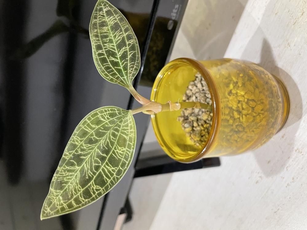 写真の植物について質問です ①こちらは、なんという植物なのでしょうか? ジュエルオーキッドなのはわかるのですが、Googleで検索しても同じような(まっすぐ伸びているもの)を見つけることができず… ②この子の増やし方は、どうすれば良いのでしょうか? お花からタネが取れるのを待つしかないのでしょうか? ③一番上の葉っぱの根元から、葉芽っぽいものがでてきましたが、そうではなく、根っこのように見...