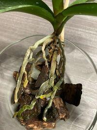 鉢から取り出した胡蝶蘭の根が写真のようにカビっていました。対処法はありますか。教えてください。