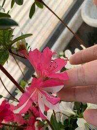 ピンクのつつじが一部白くなりました、 隣に白いツツジを植えているからでしょうか?  この一部白色のツツジを増やす方法ってありますか?