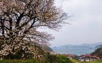 花見に行かれましたか?  当地、松江市のソメイヨシノの満開は一昨日の3月27日でした。 毎年、気象観測上の新記録で早くなります。 なんだか嫌な感じ(^^)