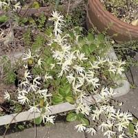 庭のプランターに咲いているこの花の名前分かりますでしょうか? 白くて花びらが細いです。