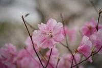 那須の烏ケ森公園で見つけたお花  低木で薄い優しい色のツツジが たくさん咲いていました。 このツツジの名前分かりましたら教えて下さい。 宜しくお願いします。