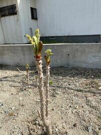 タラの芽収穫について。 昨年春にタラの芽を植えて 大きくなったので収穫しようと思うんですが  毎年収穫するとなると今回は収穫しない方がいいんでしょうか?  タラの芽写真を添付してます。