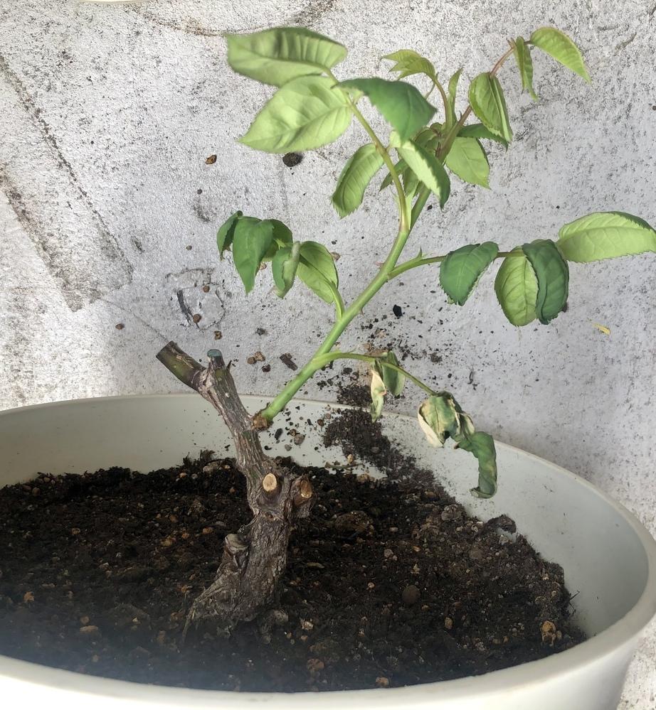 バラが下から枯れていき、最後の一枝になりました。 なんの症状でしょうか?改善策はありますか?お願いいたします!