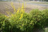ツツジの木の間に割り込んできた木です。高さ1m弱、黄色の花をつけています。何という木でしようか??