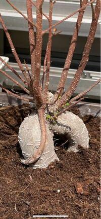 ガジュマルの剪定について質問です。 昨年購入したガジュマルを大きな鉢に植え替えて育てておりました。  冬に一度枯れてしまったのですが、画像にもある様に根本付近から新たな芽が出てきております。  上に伸びてしまった枝は切り取ってしまった方がいいのでしょうか。  ご教授お願い致します。