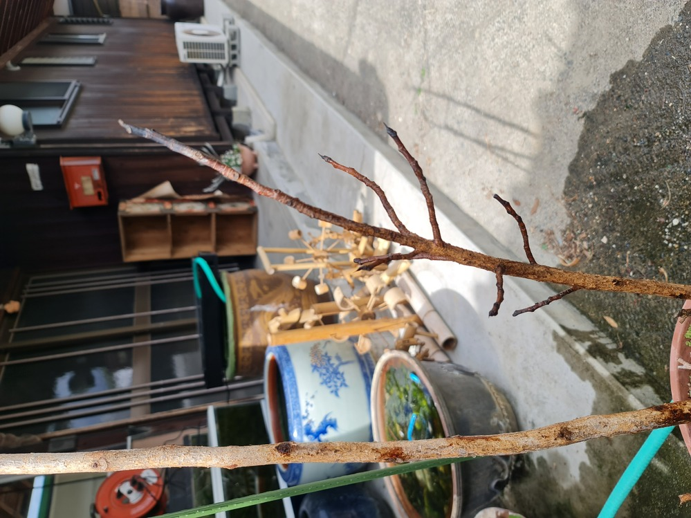 菩提樹を育てています。 冬に寒さで葉っぱが黒くなり落ちたままにしていましたが、いつもなら毎年葉っぱが新しく生えて来るのでほったらかしにしてましたが、今年は枝先まで黒くなり葉っぱが生えて来ません。...