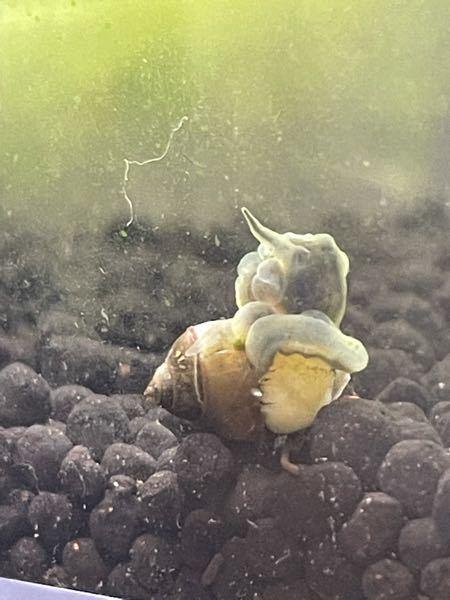 メダカと同じ水槽で飼育中のカワニナです。 貝殻が剥がれて、白いものが巻き付いています。 寄生虫でしょうか?