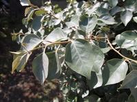 こちらの植物の名前に心あたりのある方は教えていただきたいです。 枝や葉の色味も、質感も、一見造りものの植物のようで驚きました。 樹高は150cmくらい。葉の長い方で5-6cm。 神奈川 江ノ島のサムエルコッキ...