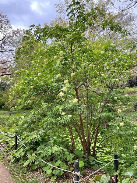 この2.5mくらいの株立ちの木の名前を教えてください。白いモフモフした小さな花?が咲いていました。