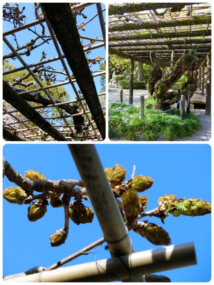 この木のつぼみは、何の花のつぼみでしょうか? 岐阜公園内で撮影しました。 ご存知の方いらっしゃいますか?