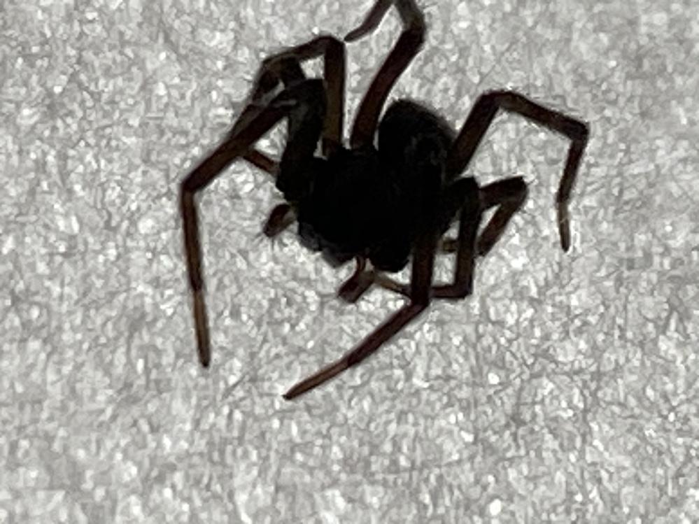 この蜘蛛はなんですか? 逆光で真っ黒になってしまいました… でも黒い蜘蛛でした 大きさはハエトリグモサイズですが、足の感じからして違うのかな?って思いました なに蜘蛛でしょうか?教えてください! お願いします!