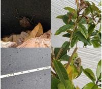 金木犀の害虫駆除ついて相談させてください。 鉢で金木犀を育てています。 3月下旬頃に葉っぱの虫食いを見つけたのですが、 あっという間に範囲が広がってしまった上に、 大量の黒いフンのようなものが落ちていま...