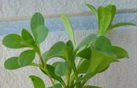 雑草を食べるのに興味があります。 良く生えてるこの植物の名前は何ですか? 触ると毛が生えてるようです。 出来たら食べれるかも教えて下さい。