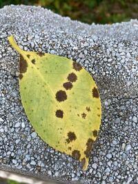 椿の葉が黄色く変色していて、 葉の裏に褐色の斑点が出ています。 害虫か病気でしょうか。 宜しくお願いします。