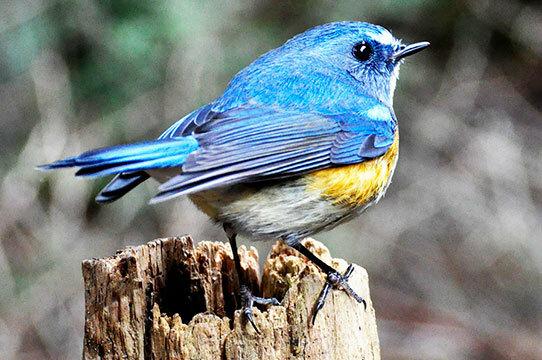 こんばんは 青い鳥は 恋をした心にとまるって 本当ですか??