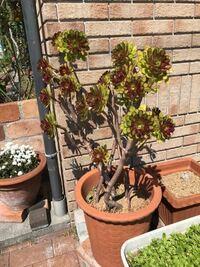 植物の名前教えてください。 写真の多肉植物の名前を、教えて頂けないでしょうか。まるで ひまわりみたいです。 よろしくお願い致します。