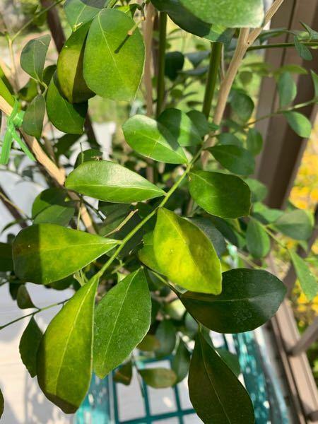 この写真を見てください。 シルクジャスミンの葉の色が良くない。 日光にもよくあっててるんですけども。 何が原因ですか?