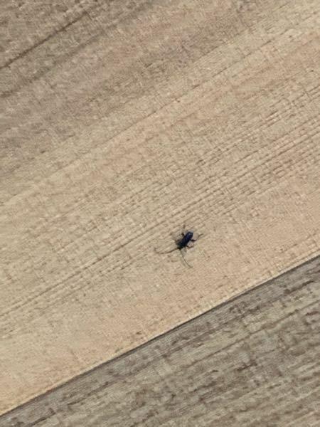こんにちは。 玄関外側の天井にこの虫が結構発生しています。 この虫はなんという虫で、 駆逐方法を教えていただきたいです。 天井は無垢の木になっているので、 カミキリムシで穴などがあいたら嫌なので早く駆逐したいです。 宜しくお願い致します。