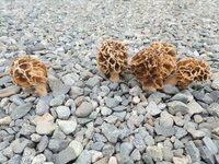庭にアミガサタケが生えてきたのですが食べられるかどうか確認するのはどうしたらいいでしょうか?  なぜか砂利の隙間から生えています