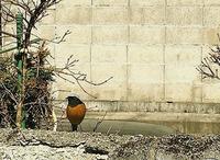 野鳥ですがこれってジョウビタキ ですよね?