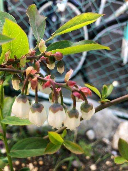 ブルーベリーの花はこれ以上開くのでしょうか? また、人工授粉をするタイミングはどれくらいでしょうか