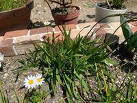 これは何と言う植物でしょうか? 義母さんが球根をくれたので、秋頃植えました。義母さんも花の名前は覚えていないけどオレンジ色の花が咲くよと言っていました。 心当たりありましたら回答お願いします。