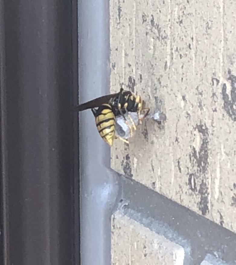 玄関に巣を作っている蜂がいるのですが、なんという種類の蜂か教えて頂きたいです。色々調べてアシナガバチかな? と思っているのですが、まだ穴?がひとつしかなくて確信が持てずどうしても気になってしまって。 詳しい方正解を教えてください。