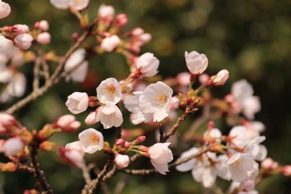 桜前線は東北地方まで北上していますが、皆さん今年桜を撮影しましたか? 北海道の方御免なさい。