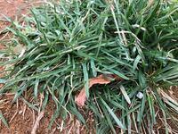 秋に芝生を移動しました。移動した芝生は今はまだ枯れた状態ですが、所々にこの元気な緑の植物が生えてきました。これは草?芝生?どなたかお解りの方教えて頂きたいです 宜しくお願いいたしますm(_ _)m